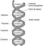 ADN, la double hélice